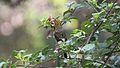 Iiwi (Vestiaria coccinea) immature (25862297823).jpg