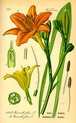 Hemerocallis fulva, Illustration.