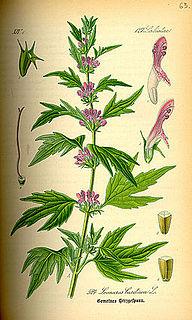Leonurus genus of plants in the family Lamiaceae