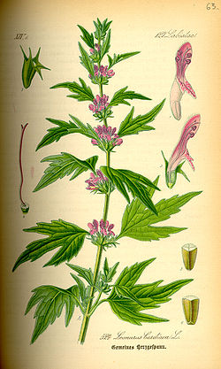 http://upload.wikimedia.org/wikipedia/commons/thumb/6/68/Illustration_Leonurus_cardiaca0.jpg/250px-Illustration_Leonurus_cardiaca0.jpg
