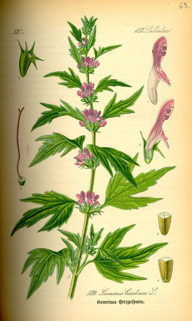 Illustration aus altem Buch, Zeichnung, Pflanze und einzeln hervorgehobene Blüten