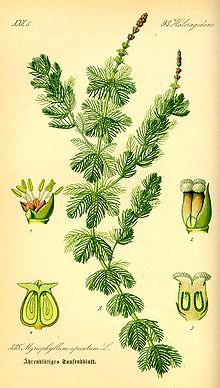 220px-Illustration_Myriophyllum_spicatum