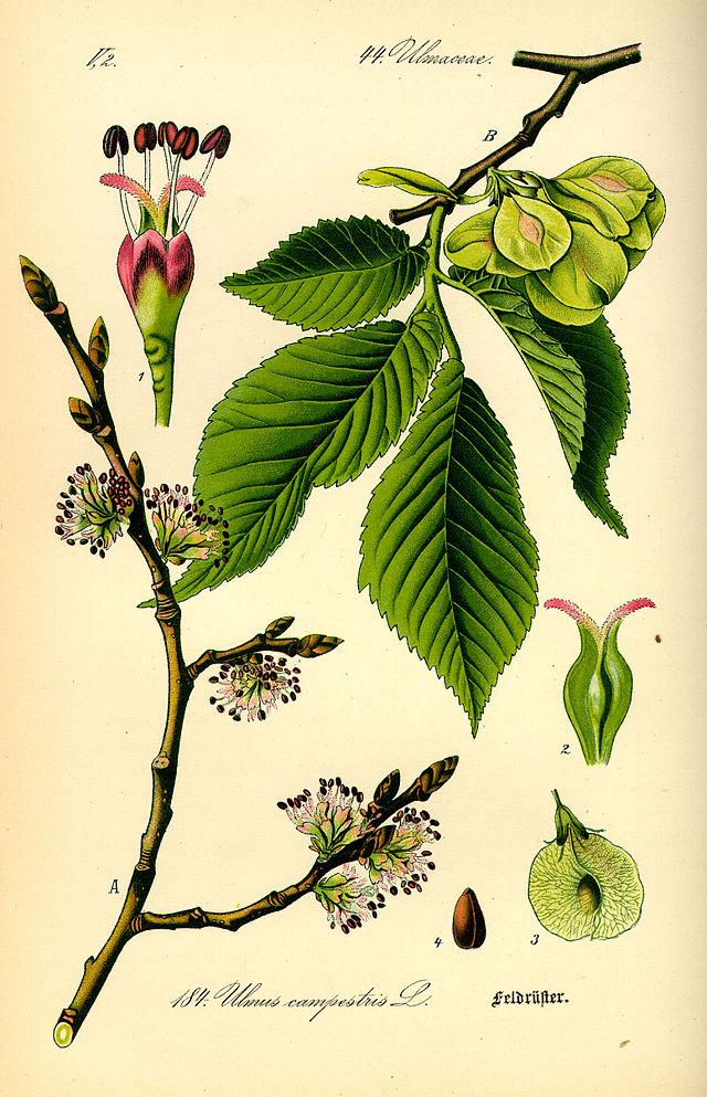 planche botanique de l'orme