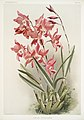 Illustration from Reichenbachia Orchids by Frederick Sander, digitally enhanced by rawpixel-com 059.jpg