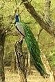 Indian Pea fowl.jpg