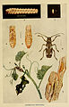 Indian insect life (Plate XXV) (6279516881).jpg