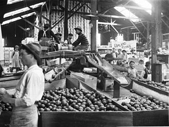 Ontario, California - Interior of citrus packing house in Ontario, 1905