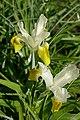 Iris bucharica in Jardin des Plantes 02.jpg