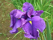 Iris sanguinea in Jun 2003.jpg