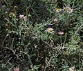 J20150910-0025—Corethrogyne filaginifolia—RPBG (21207961929).jpg
