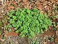 Jacob's Ladder (Polemonium reptans), leaves, New Jersey, 210410, Becky Laboy.jpg