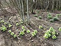 Japanese Butterbur (Petasites japonicus) by the Yarrow Water - geograph.org.uk - 726089.jpg