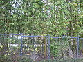 Japanese Friendship Garden, Balboa Park bamboo.JPG