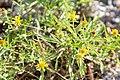 Jasonia tuberosa -3009 - Flickr - Ragnhild & Neil Crawford.jpg
