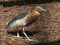 Javan Pond Heron SMTC.jpg