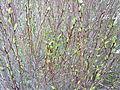 Jeunes feuilles d'osier pourpre à Grez-Doiceau 001.jpg