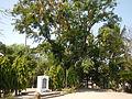 Jf9408Pterocarpus indicus Lubaofvf 03.JPG