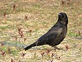 Jibea Corneille noire Wasmeer 2016 03.jpg