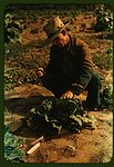 Jim Norris, homesteader, cutting a head of cabbage 1a34119v.jpg