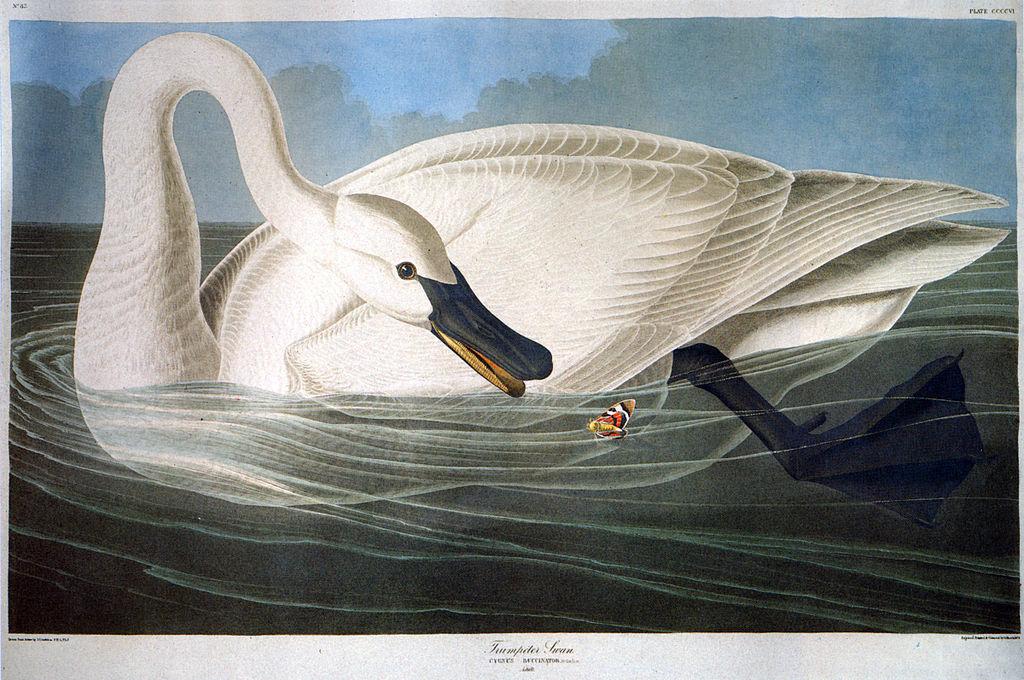1024px-John-James-Audubon-001 dans CYGNE