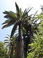 Jubaea chilensis (scott.zona) 005.jpg