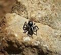 Jumping Spider. Aelurillus v-insignitus, Salticidae. (43998646775).jpg