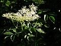 Juni 2012 Holunderblüten.JPG