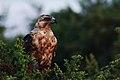Juvenile Galápagos hawk (4202569996).jpg