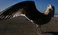 Juvenile Gull - spread wings.jpg