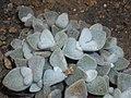 Kalanchoe eriophylla 2017-05-31 2144.jpg