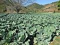 Kalaw Cabbage (42272303800).jpg