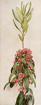 Kalmia angustifolia ssp. angustifolia WFNY-160A.jpg