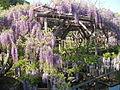 Kameido shrine wisteria festival4.JPG