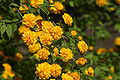 Kerria japonica 001 JPN.jpg