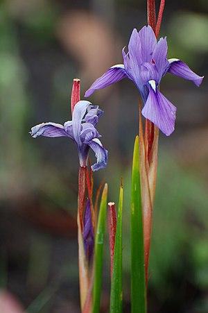 Kitulo National Park - Moraea callista, a species of iris found in Kitulo National Park