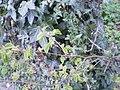 Klimop en haagbeuk in het Kennemeerduyn bos.jpg