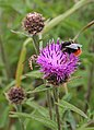 Knapweed (Centaurea nigra) with Bumble Bee - geograph.org.uk - 910720.jpg
