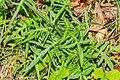 Knautia arvensis in Montriond (6).jpg