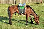 Koń mongolski w Parku Narodowym Gorchi-Tereldż 14.JPG