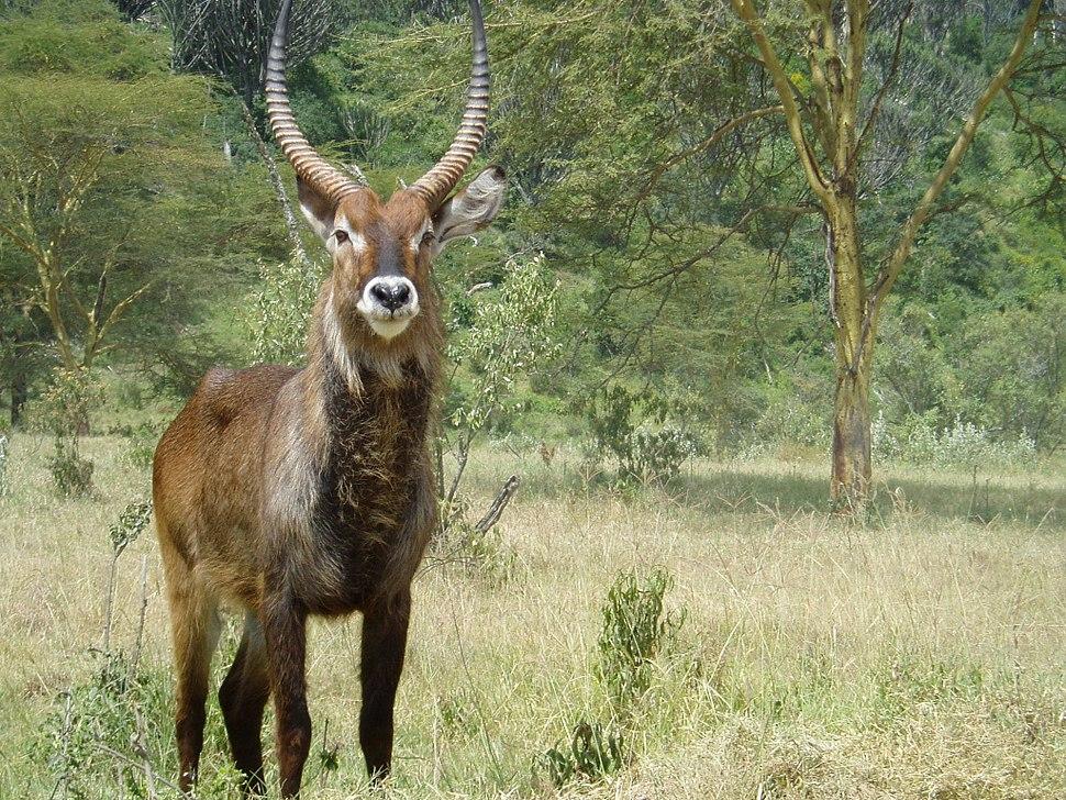 Kobus ellipsiprymnus in Lake Nakuru