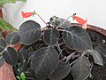 Kohleria hirsuta-3-holy trinity church-yercaud-salem-India.jpg