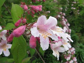 Linnaea amabilis - Flower