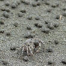 6695acc8d60 Sand bubbler crab - Wikipedia