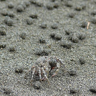 Dotillidae family of crustaceans
