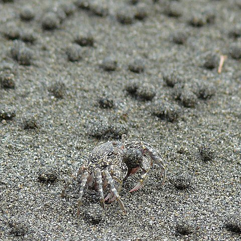 Sand Bubbler Crab that breathes air with their legs  480px-Kometsukigani_06g0139v