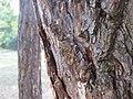 Kora drveta u parku (6).jpg