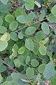 Korina 2017-05-07 Amelanchier alnifolia 2.jpg