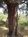 Korkeiche (Quercus suber) im Naturpark Los Alcornocales 5.JPG