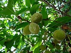 Kulturmandel unreife Früchte