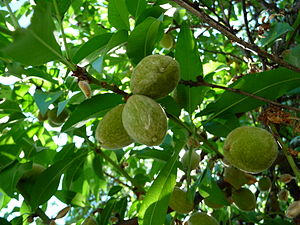 Almond - Young almond fruit
